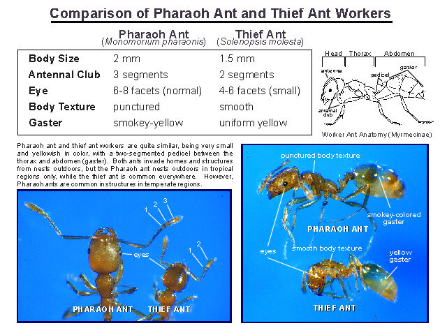 chart of ant comparisons