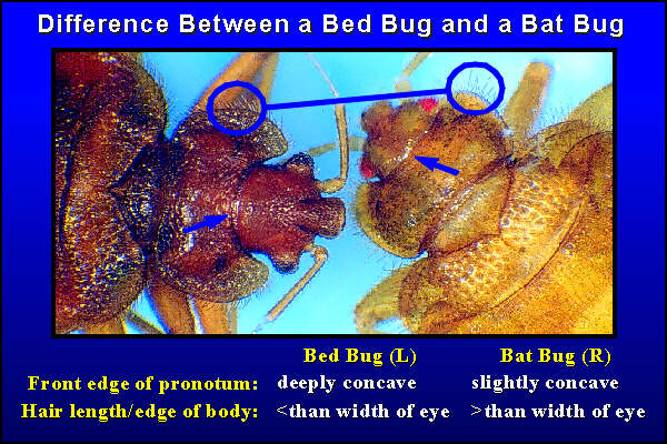 difference between bed bugs and bat bugs