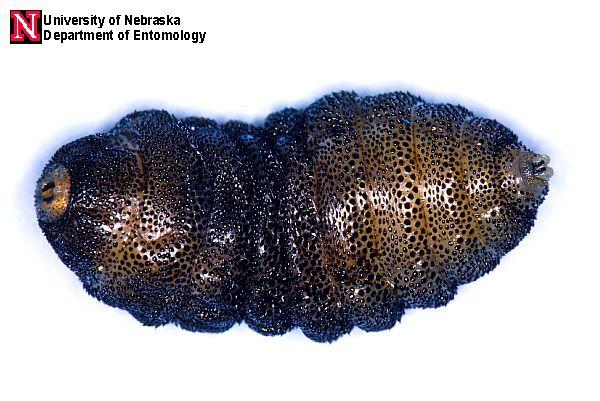 Bot Fly Images | Entomology | Nebraska