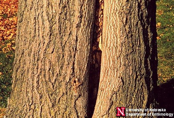 Black Carpenter Ant Nest