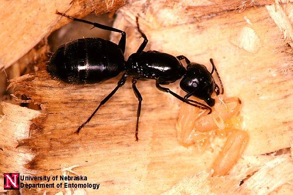 Carpenter Ants | Department of Entomology | University of ...