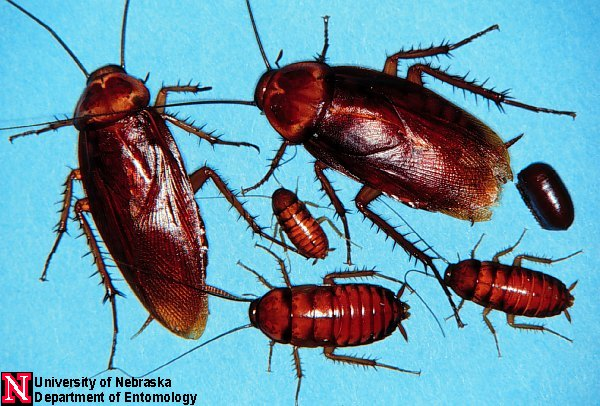 Мебельный, или коричневополосый таракан (Supella longipalpa)