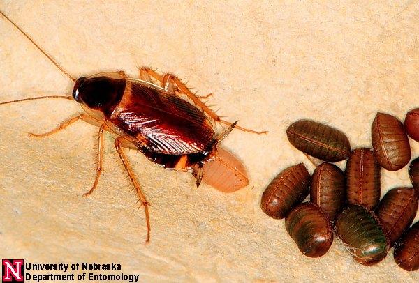 how to kill german cockroach eggs
