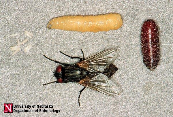 Muscid Fly Images Department Of Entomology University