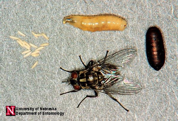 muscid fly images department of entomology nebraska