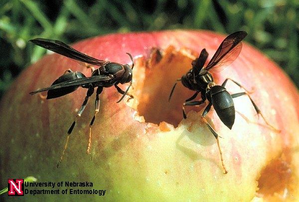 paper wasps entomology nebraska