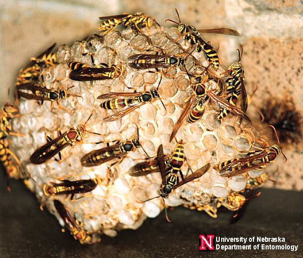 NCSUENT/ort-144 Swarming Paper Wasps