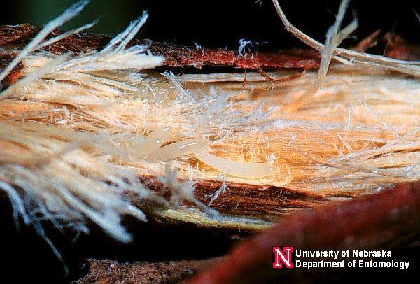 cicada eggs - photo #16