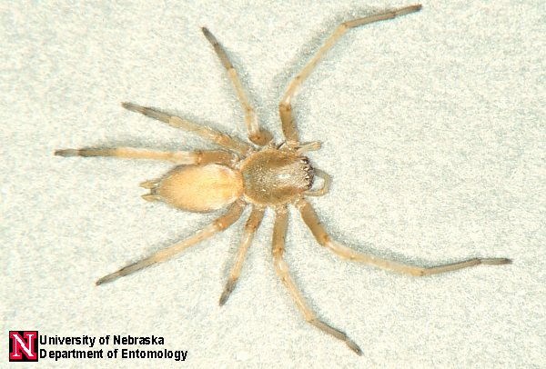 Sac spiders typically have darker mouthparts and a faint dark stripe ...