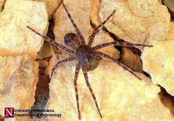 Spider Images Department Of Entomology