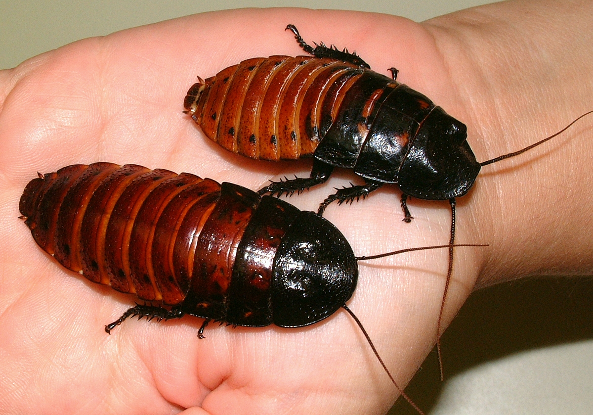 Male and female roaches