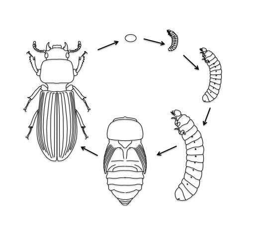 Bess Beetles | Science Literacy and Outreach | University of ...