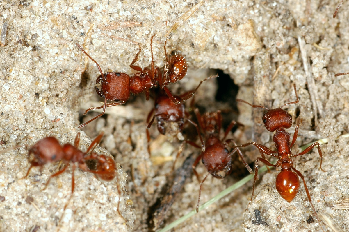Western Harvester Ants In The Ant Farm Science