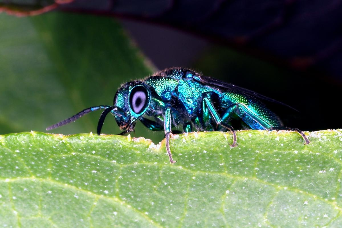 Cuckoo Wasp image