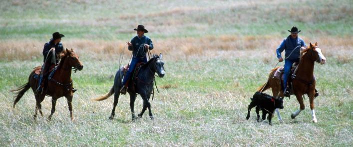 cowboys roping a calf
