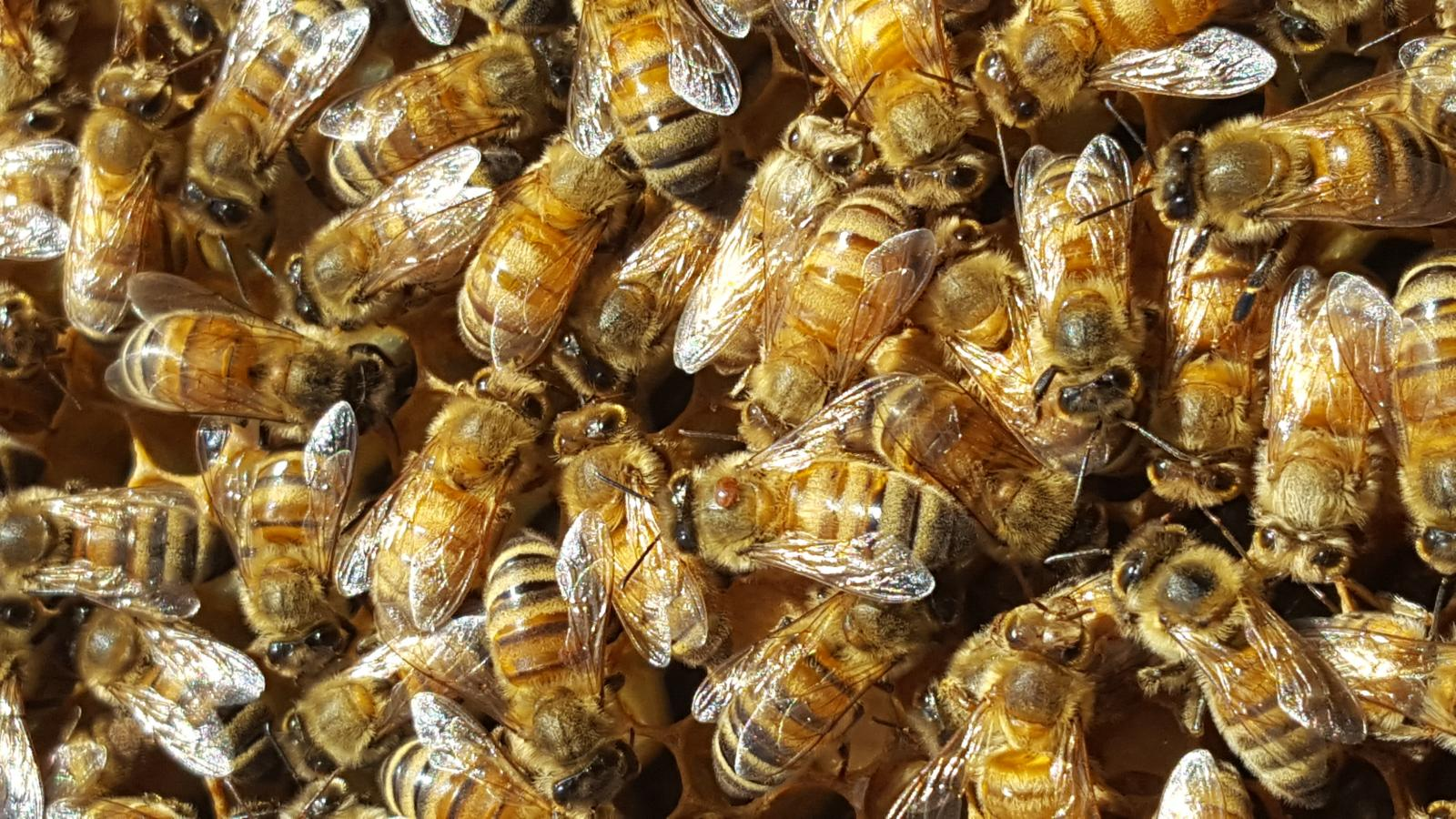bees with varroa mite