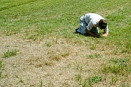 Turfgrass Entomology Chinchbg Department Of Entomology